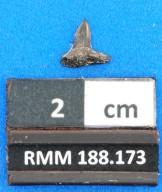 Abdounia recticona