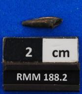 Trichiurus sp.