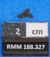 Carcharhinus gilmorei