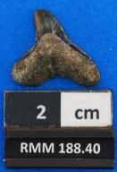 Galeocerdo alabamensis