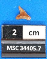 Physogaleus secundus