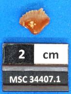 Nebrius thielensis