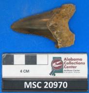 Carcharocles auriculatus