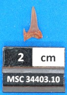 Striatolamia macrota