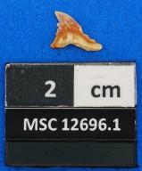 Hemipristis curvatus