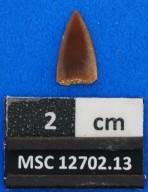 Sphyraena sp.