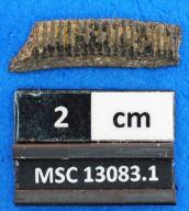Rhinoptera sp.