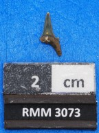 cf. Mennerotodus sp.