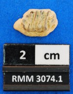 Rhinoptera prisca