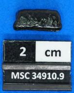Pteromylaeus sp.
