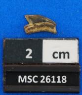 Squalicorax kaupi