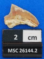 Squalicorax pristodontus