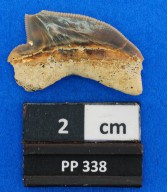 Squalicorax sp. cf. S. kaupi