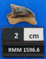 Squalicorax sp. cf. S. pristodontus