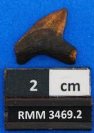Squalicorax yangaensis