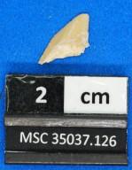 Squalicorax sp.