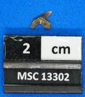 Pseudocorax laevis