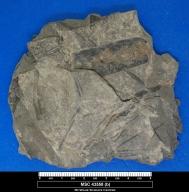 Lepidostrobophyllum cf. L. majus