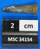 Scapanorhynchus texanus