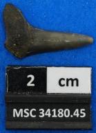 Cretalamna sp.