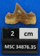 Cretalamna appendiculata