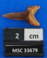Brachycarcharias lerichei