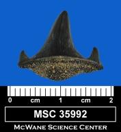 Meristodonoides multiplicatus