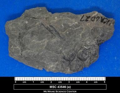 Lepidophloios laricinus