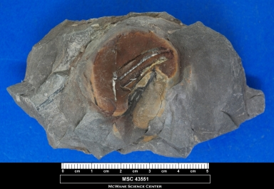 Neuralethopteris biformis