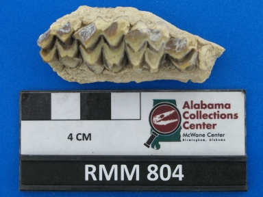 Merycoidodon culbertsoni