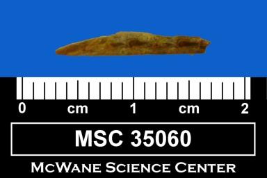 Meristodonoides sp.
