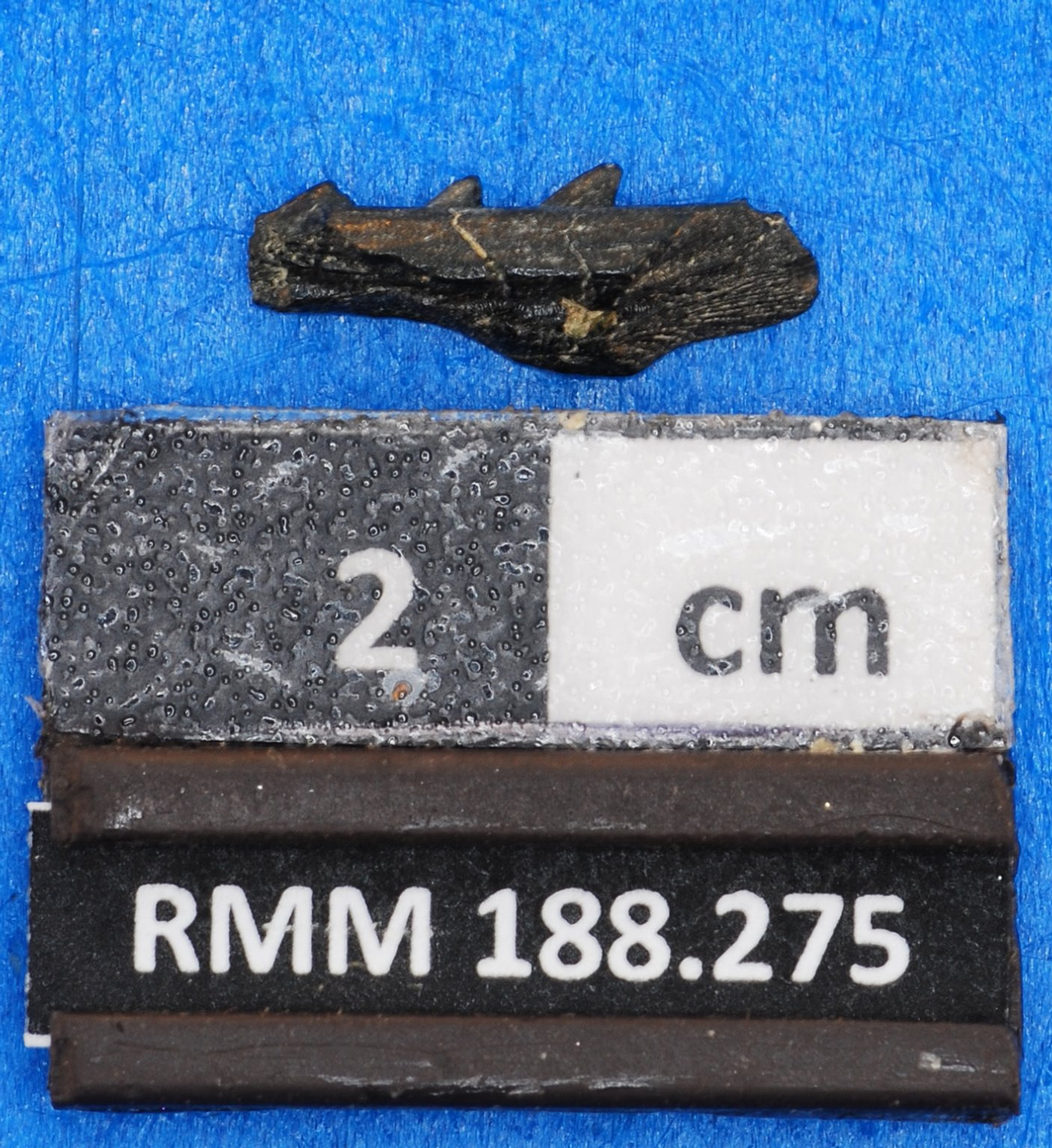 Ariidae