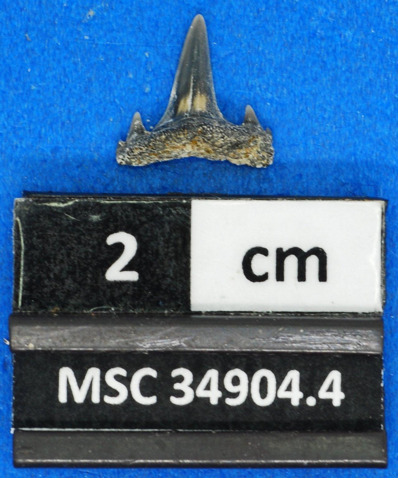Mennerotodus sp.