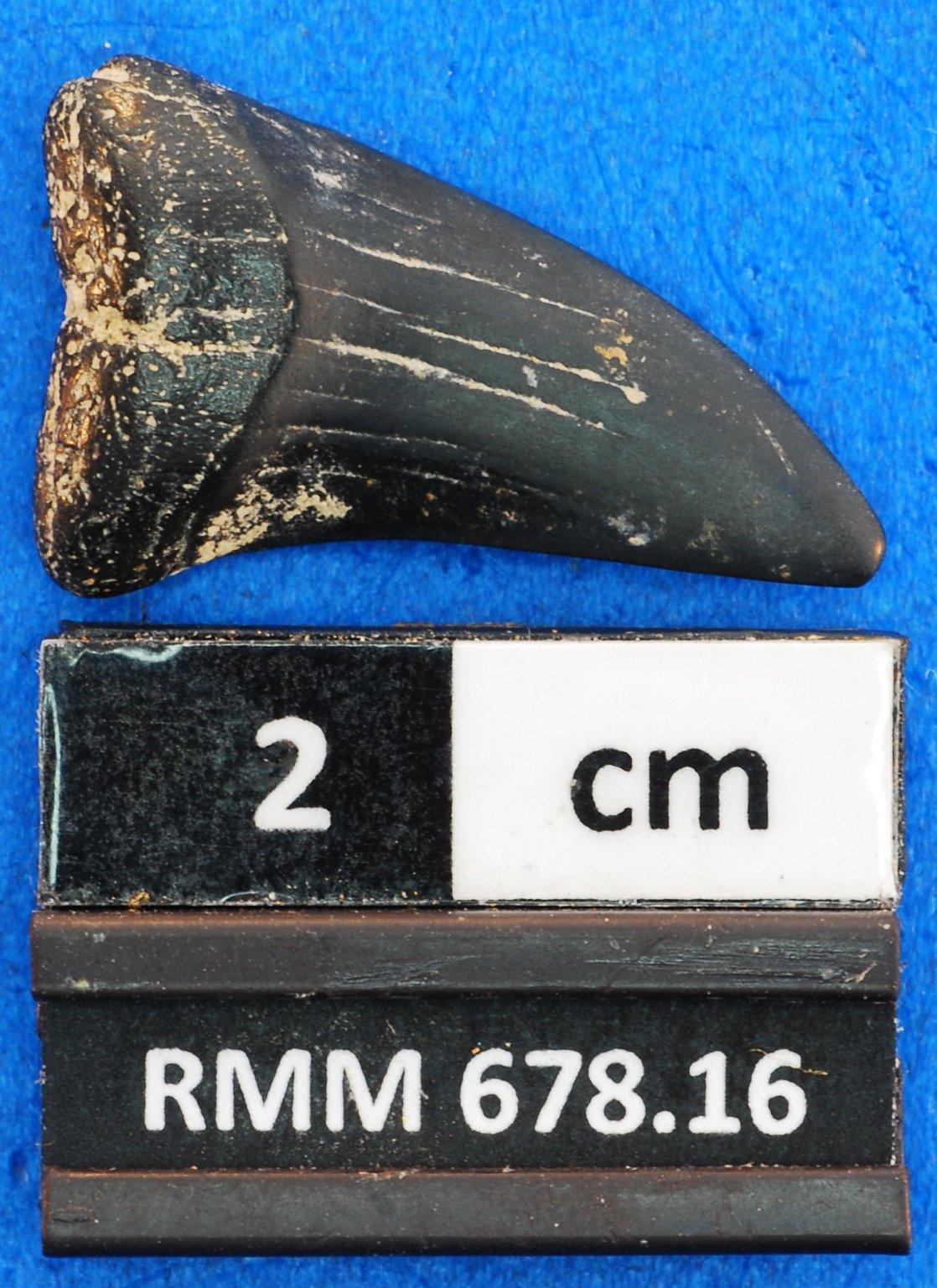 cf. Jaekelotodus sp.