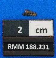 Rhizoprionodon sp. cf. R. ganntourensis
