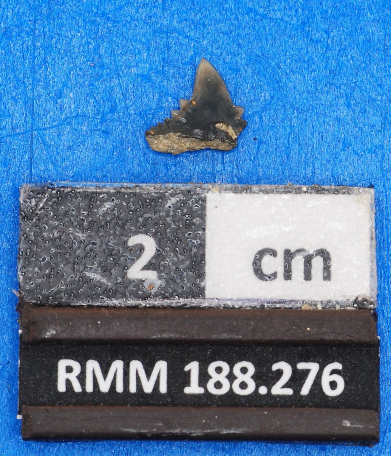 Abdounia claibornensis