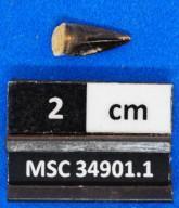 Scomberomorus sp. cf. S. stormsi