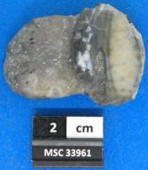 Petalodus acuminatus