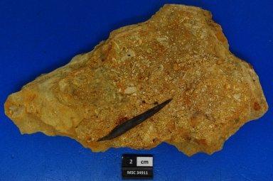 cf. Amelacanthus sulcatus
