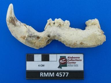 Ursus cf. americanus